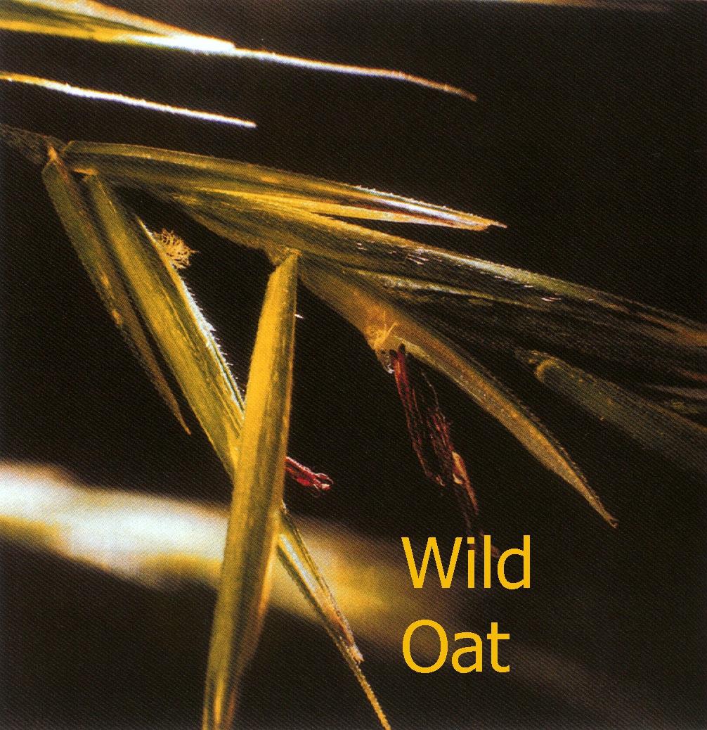 Wild oat fleur de bach