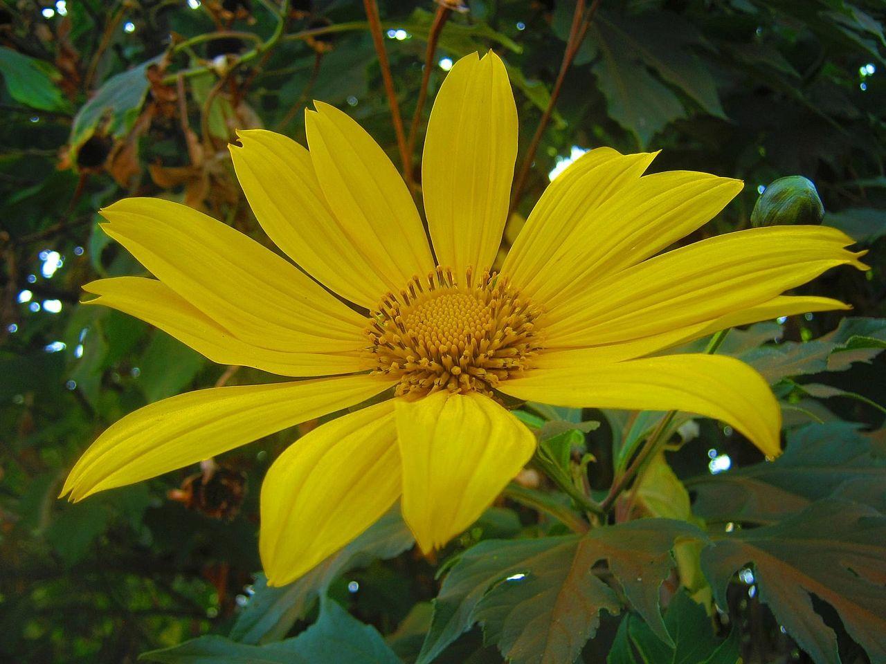 Fleur jalousie