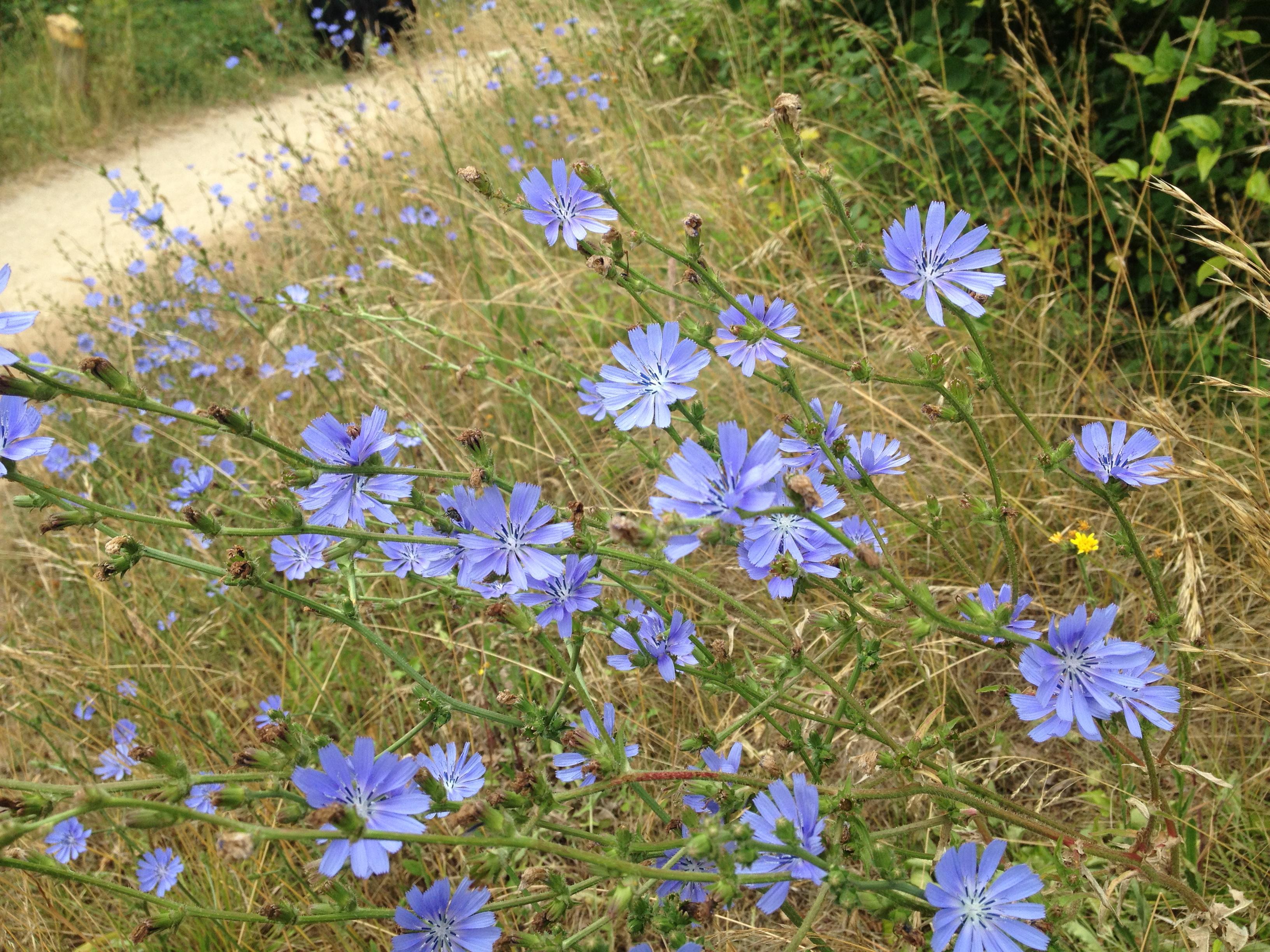 Chicory fleur de bach