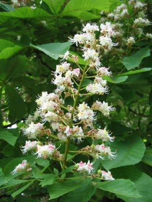 Marronnier blanc fleur de bach