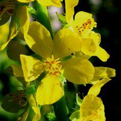 Aigremoine fleur de bach