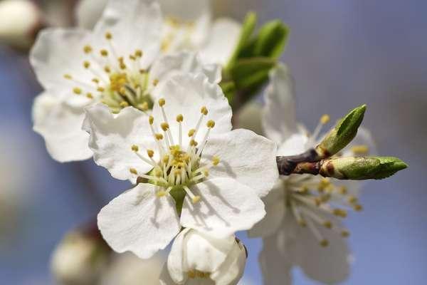Fleurs de bach cherry plum posologie