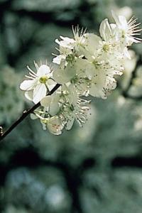 Cherry plum fleur de bach posologie