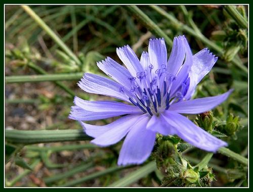 Fleur de bach chicory