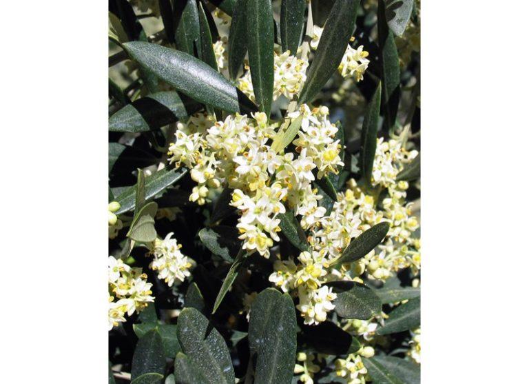Fleur de bach olive
