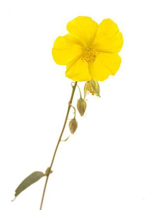 Rock rose fleur de bach