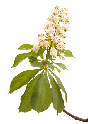 White chestnut fleurs de bach